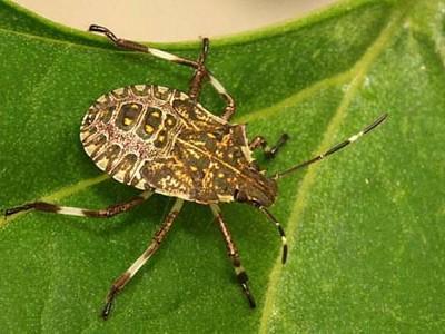 Stink Bugs arriving on Australian Coast